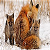 Fox family slide puzzle