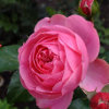 Kingdom of the flowers: Pink rose